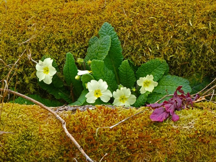 primroses becks burn