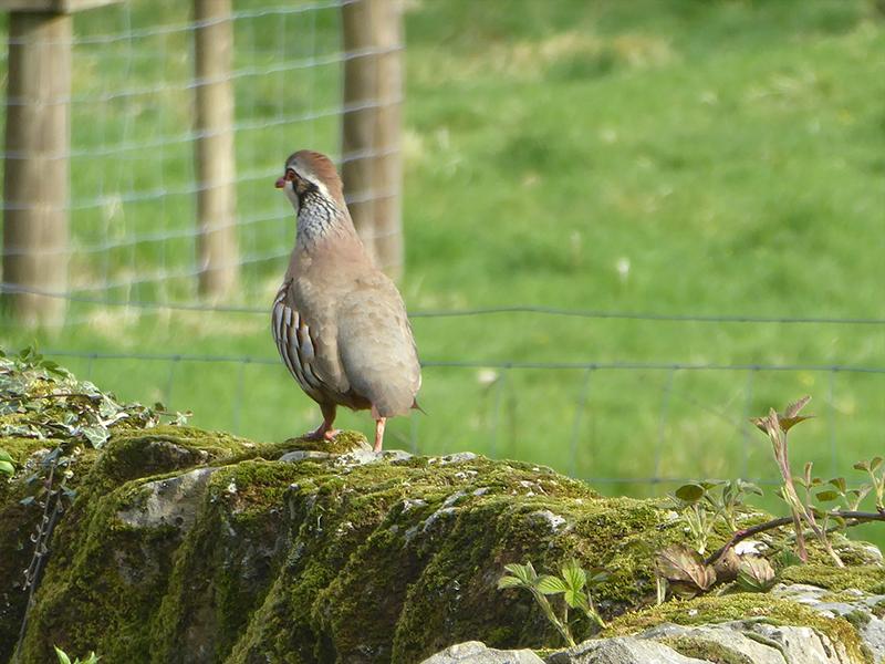 quail on wall