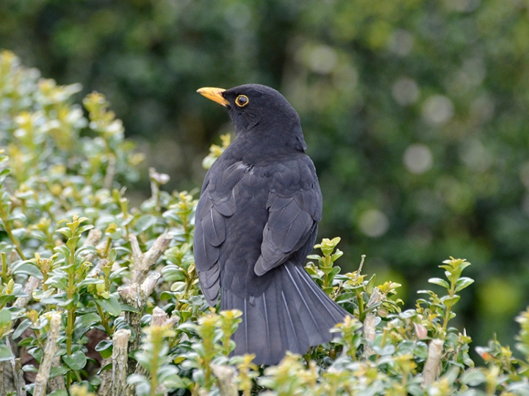 resident blackbird hedge