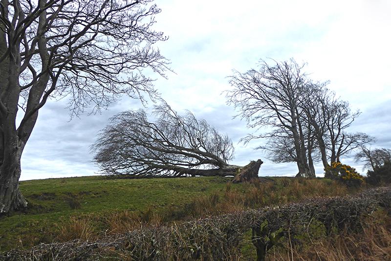 resting tree ryehill