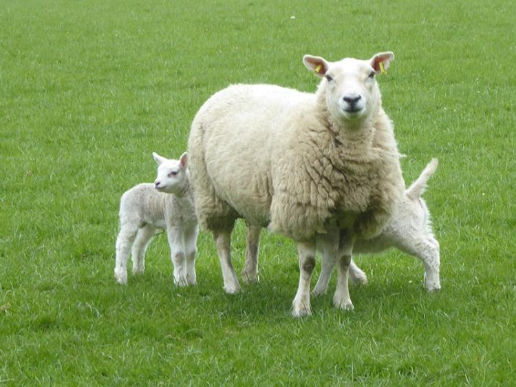 sheep and twin lambs