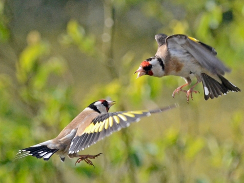 sparring goldfinches