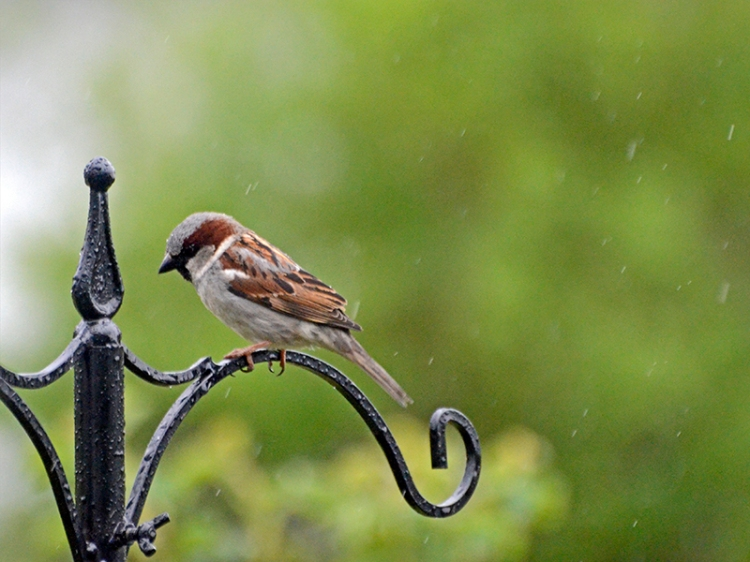 sparrow in the rain