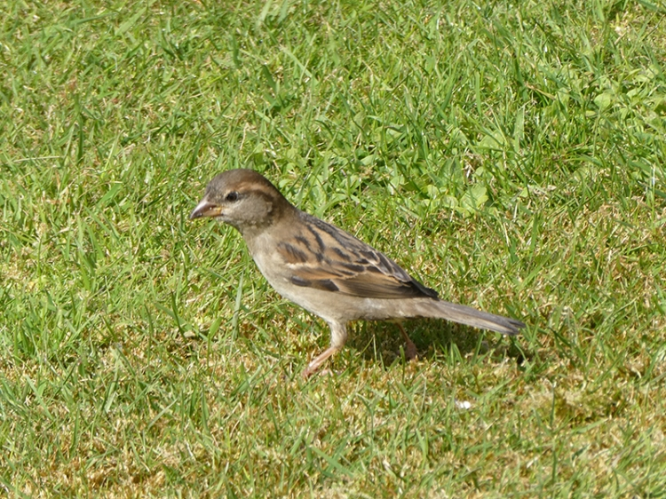 sparrow on lawn