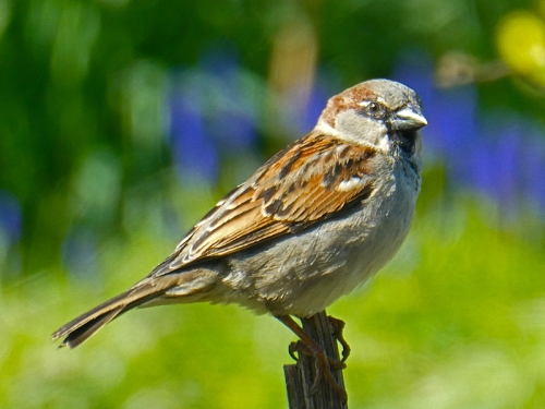 sparrow on stalk