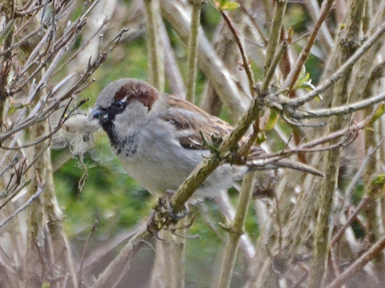 sparrow with nest material