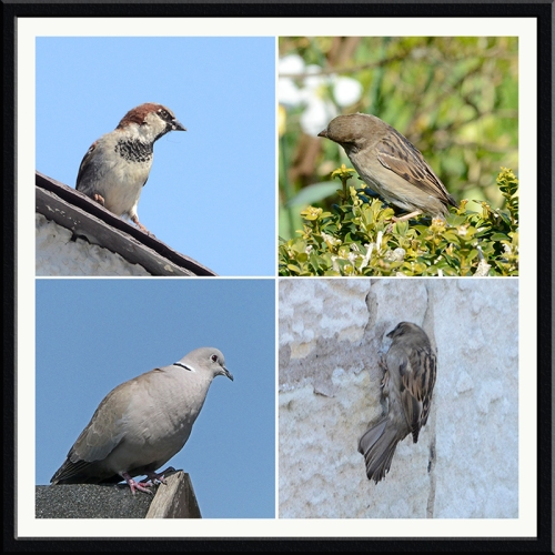 sparrows and dove