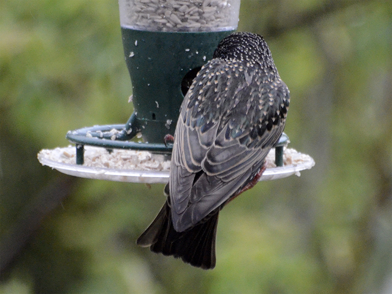 starling on feeder