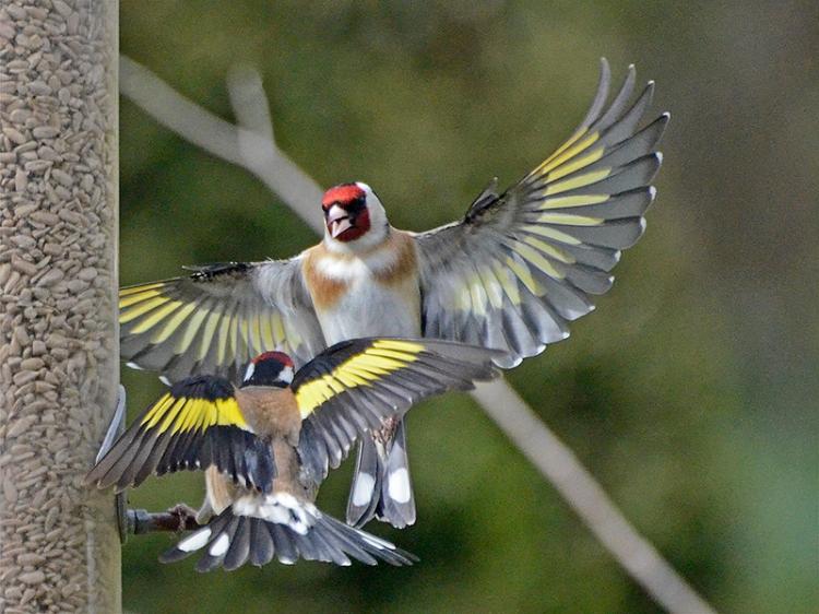 super goldfinch