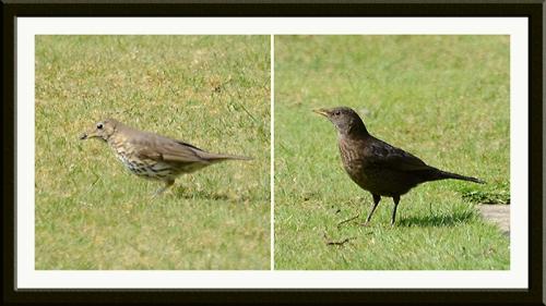 thrush and blackbird on lawn