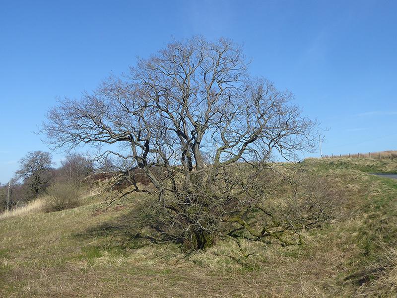 tree at wauchope schoolhouse