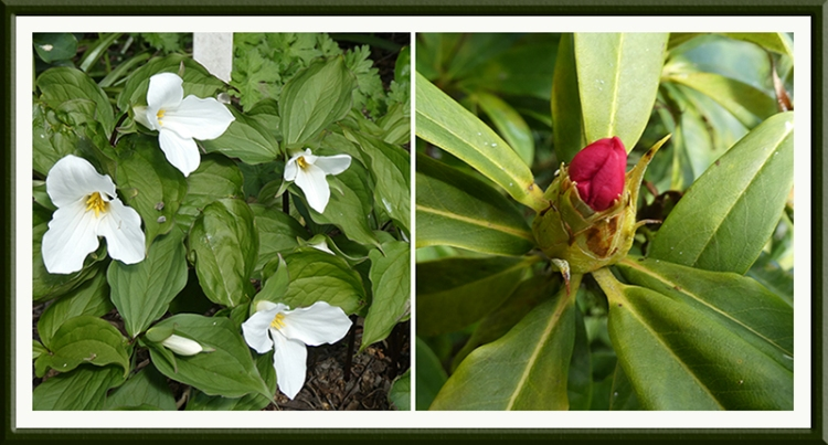trillium and rhododendron bud