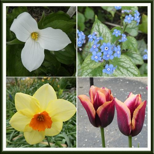 trillium, daffoidl tulip, brunnera