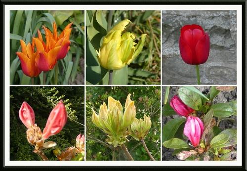 tulips and azaleas