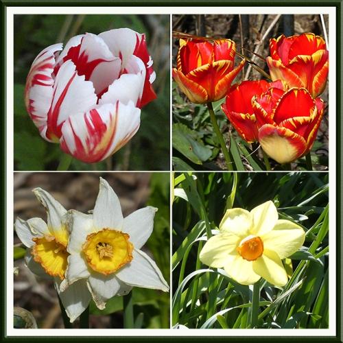 tulips and daff panel