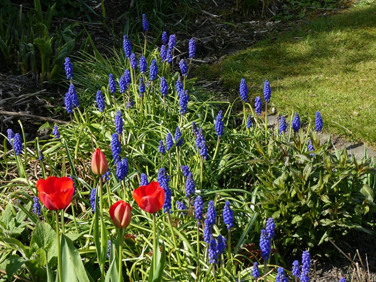 tulips and grap hyacinths