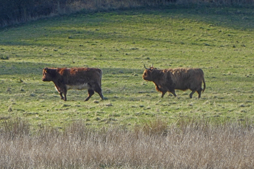 two canonbie cows on the march