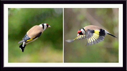 two flying goldfinches