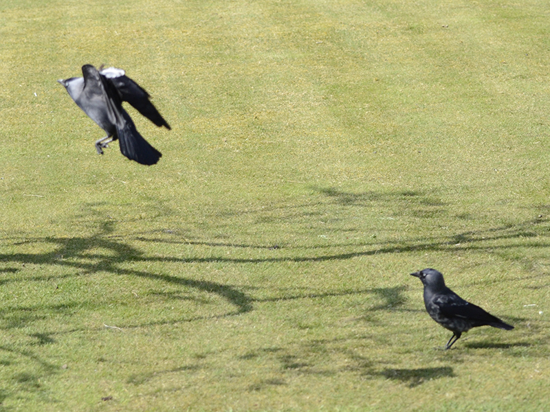 two jackdaws on lawn