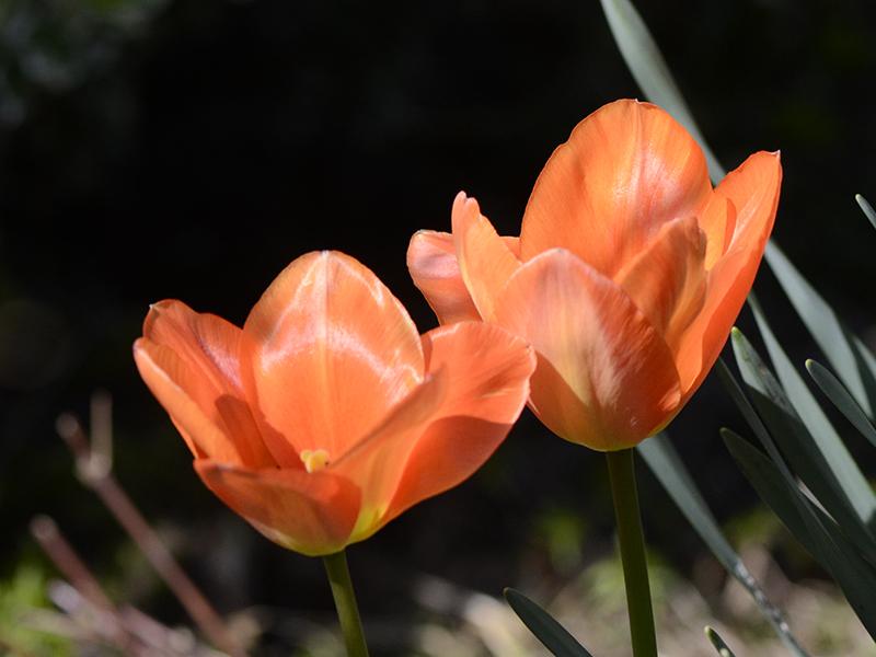 two orange poppies