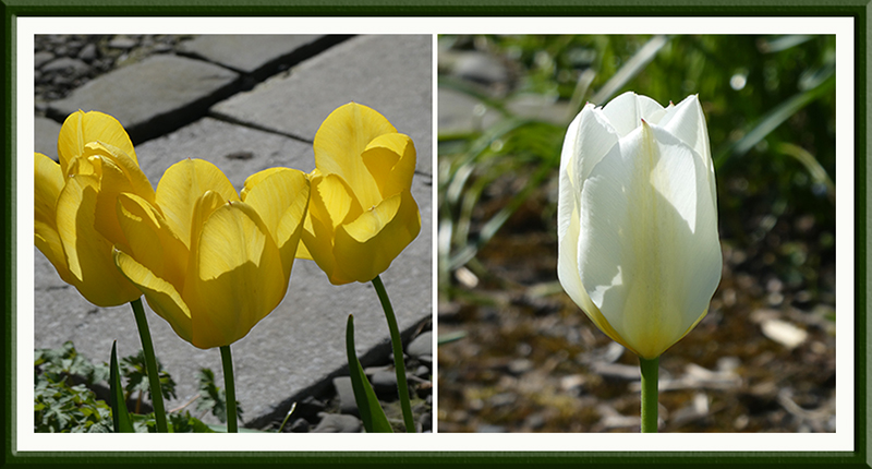 two sunny tulips
