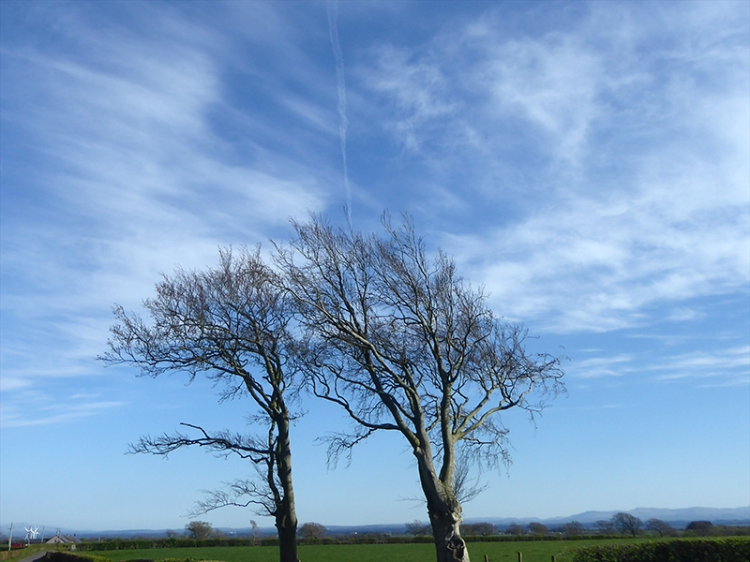 two trees and contrail