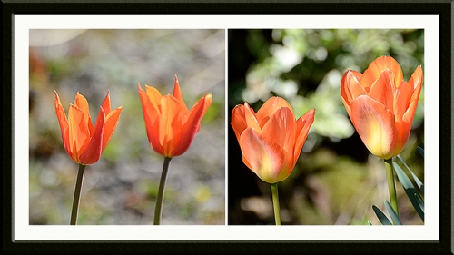 two tulip twice