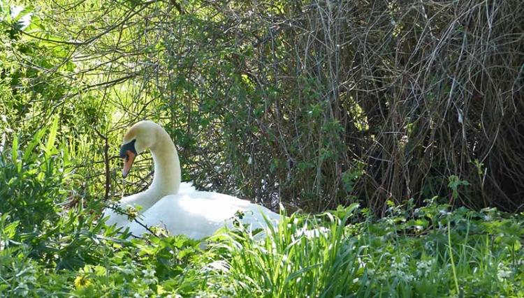 venetia's swan