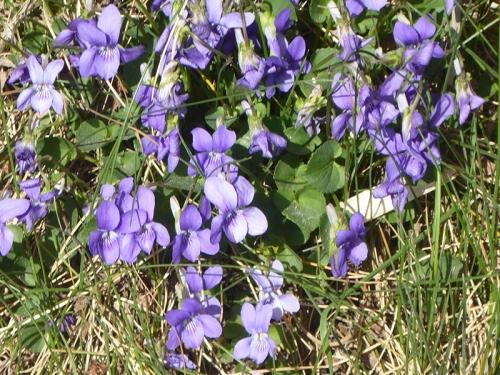 violets beside road