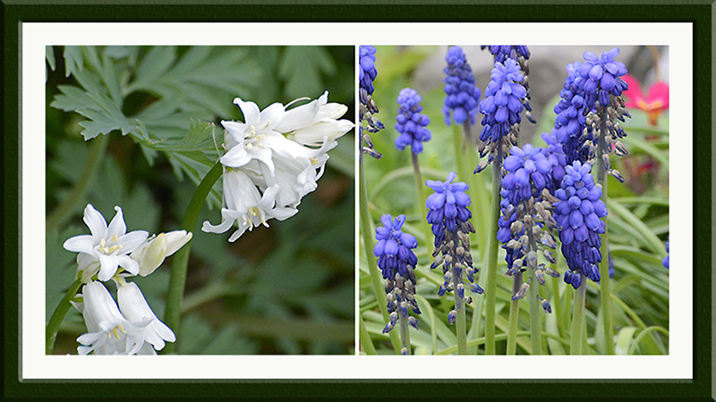 white bluebells and fading garpe hyacinths