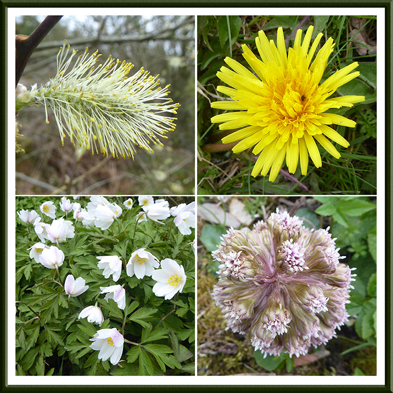 will, dandelion, butterbur and anemone
