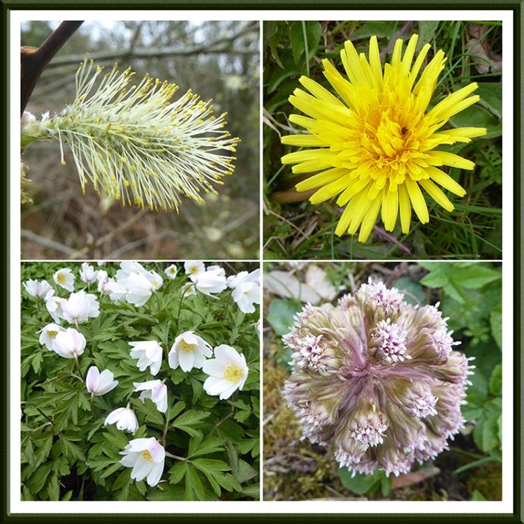 will, dandelion, butterbur and anemone