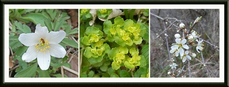 wood anemone, golden saxifrage, blackthorn