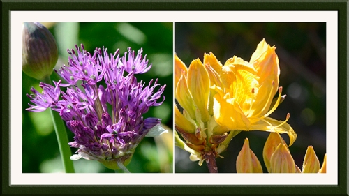 allium and azalea