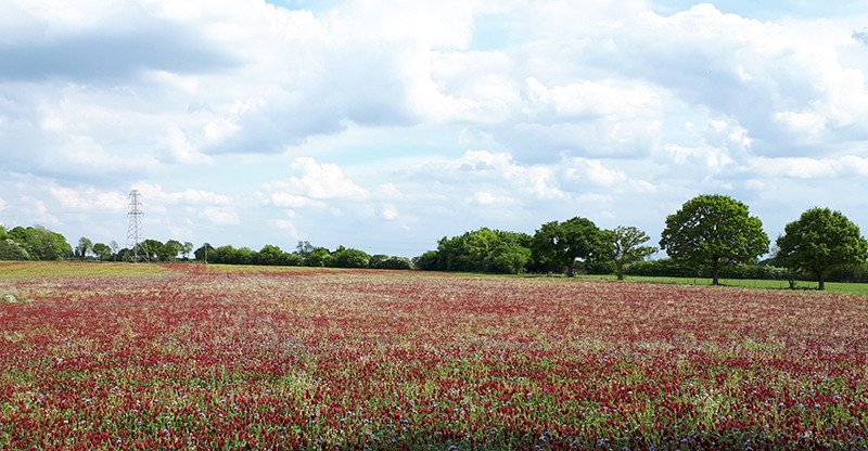 andrew's red field