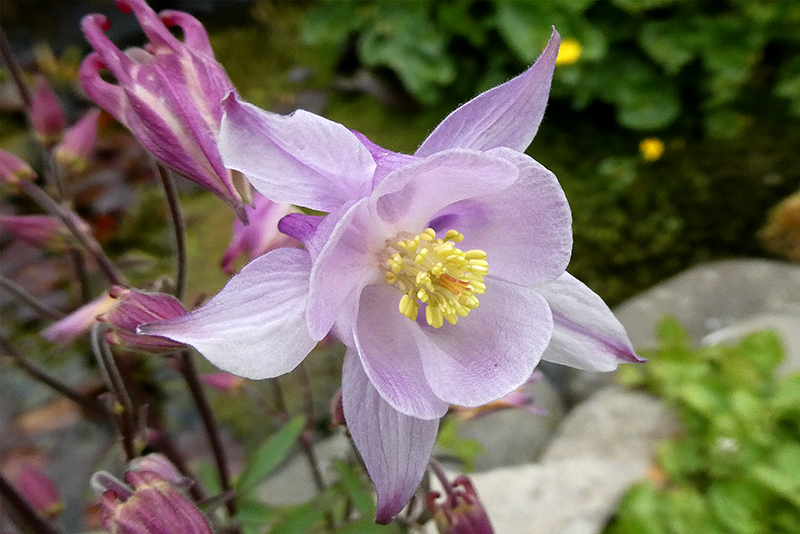 aquilegia close up