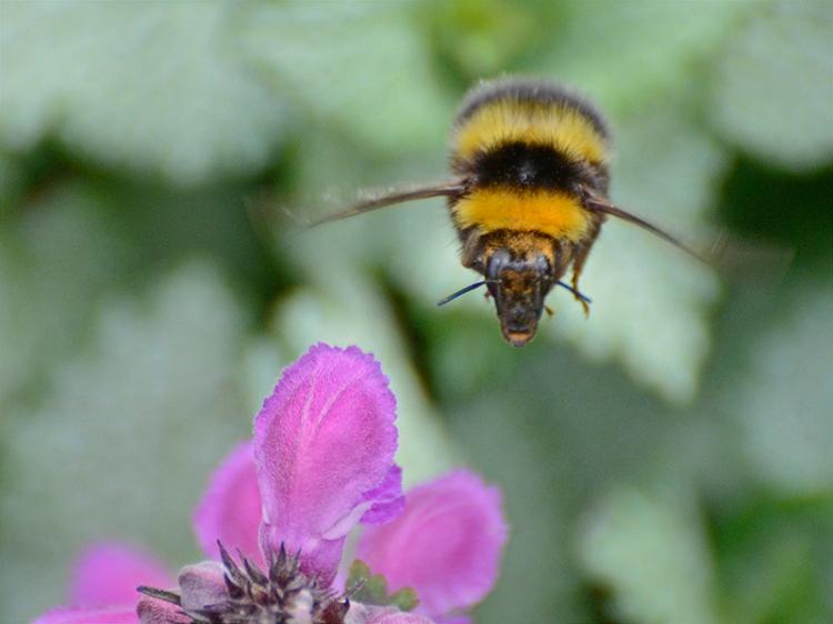 bee at lamium