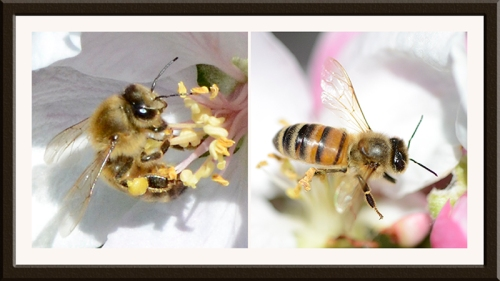 bees on apple blossom