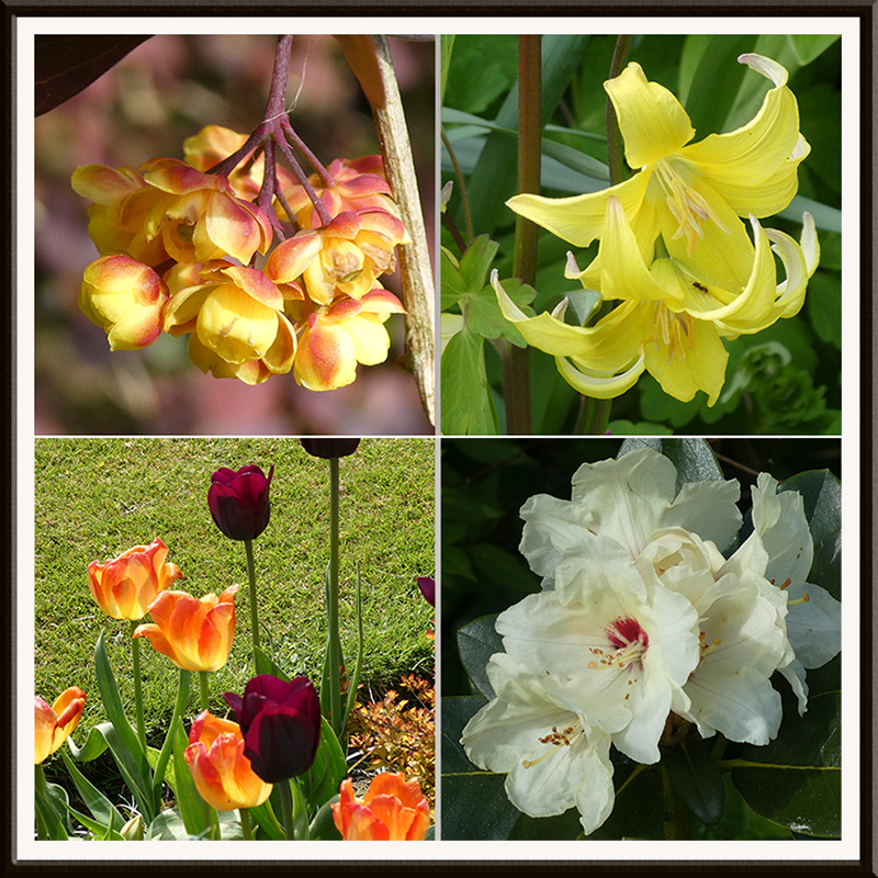 berberis, rhody, trout lily and tulips