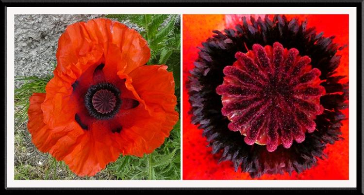 big red poppy panel