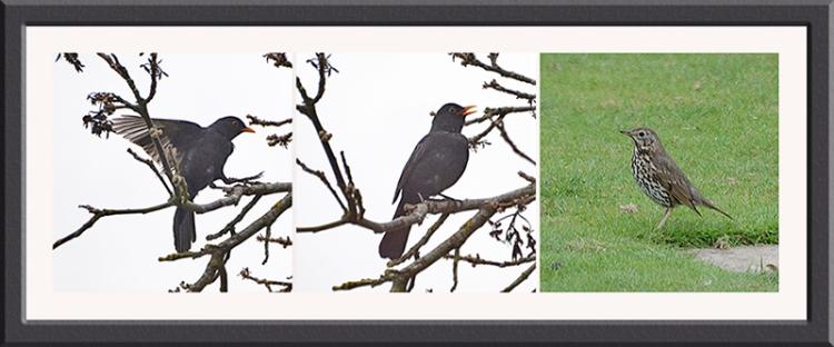 blackbird an thrush panel