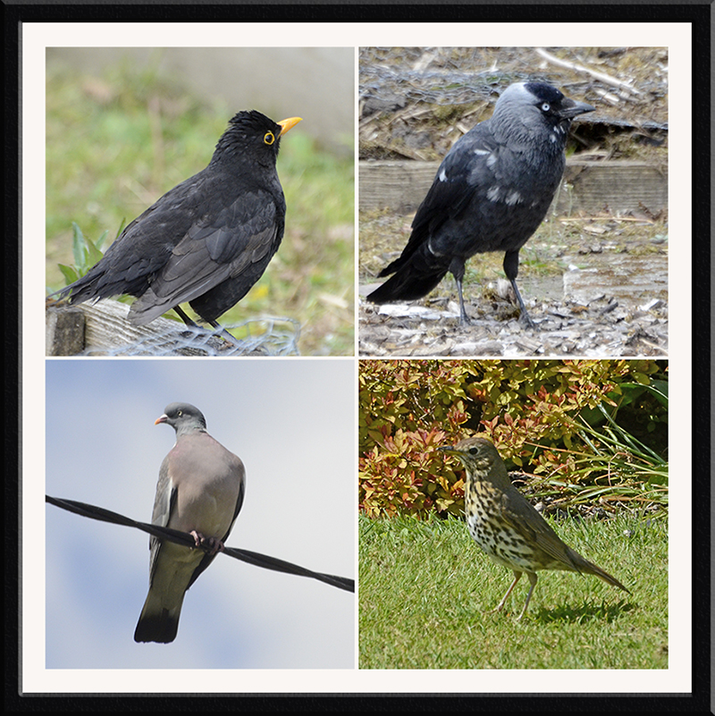 blackbird, jackdaw, thrush and pigeon