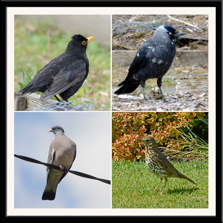 blackbird, jackdaw, thrush and pigeon