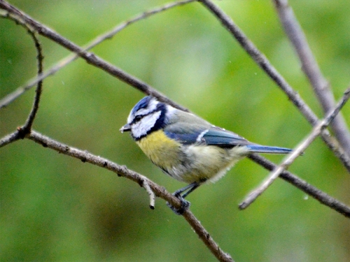 blue tit in garden