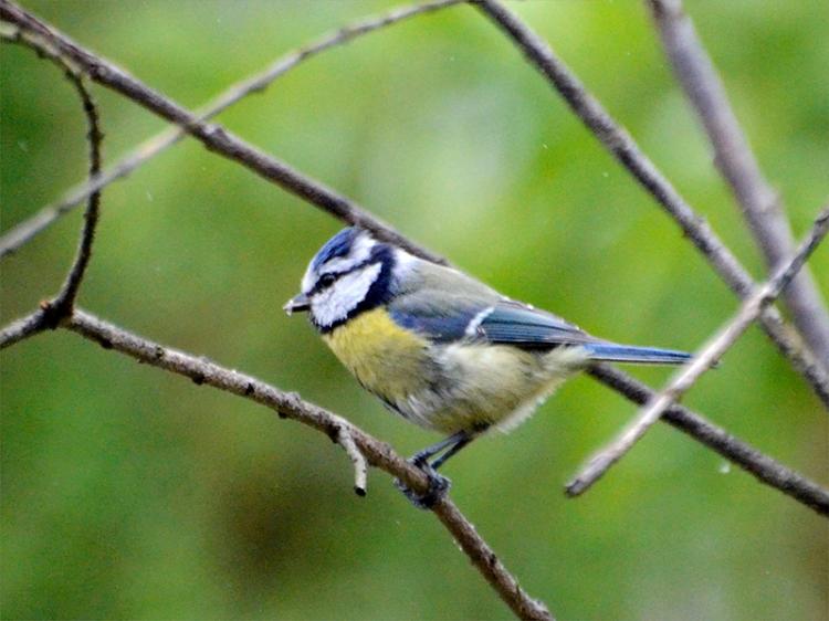 blue tit in garden