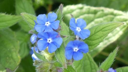 blue wild flower woodhouselees