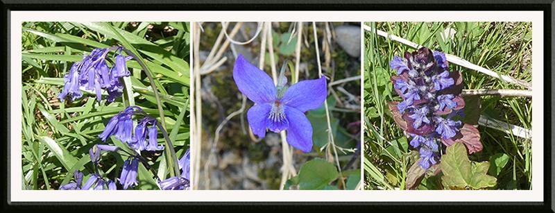 bluebell, violet and ajuga