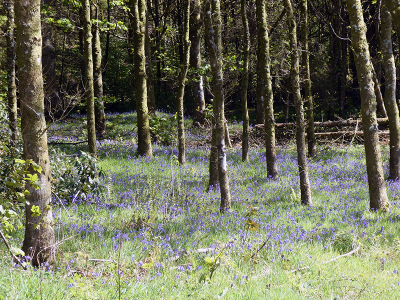 bluebell woods longfauld
