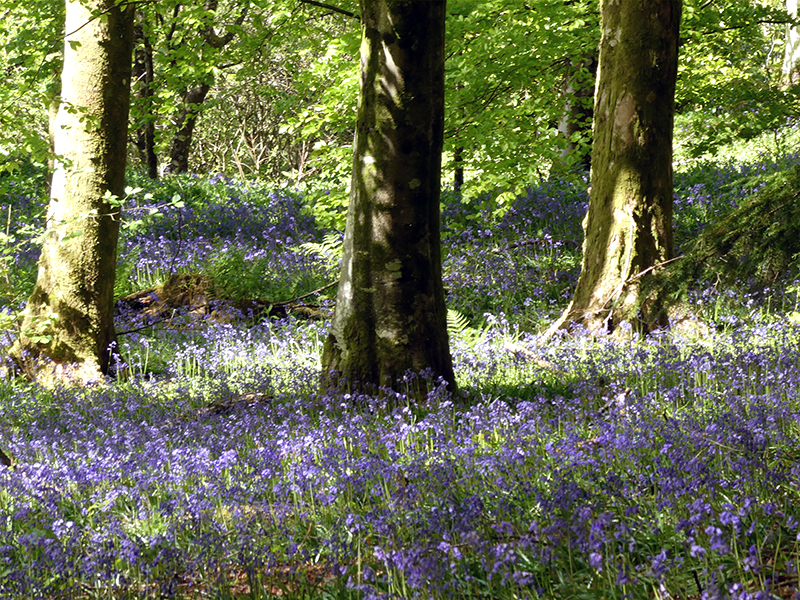 bluebells near north lodge