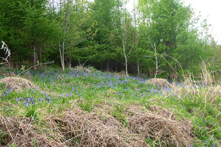 bluebells old A7